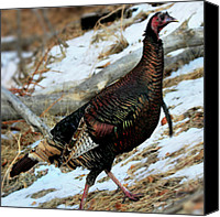Colorful Feathers Photo Canvas Prints - On the Run Canvas Print by William Gillam