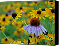 Photograhy Canvas Prints - One Cone Flower Amongst the Black Eyed Susans Canvas Print by Jim Finch