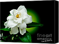 Limelight Digital Art Canvas Prints - One Sensual White Flower Canvas Print by Carol F Austin