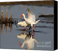 Ibis Canvas Prints - Oooh Get It Off Get It Off Canvas Print by Robert Frederick