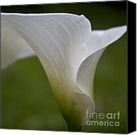Calla Lily Canvas Prints - Open white calla lily II Canvas Print by Heiko Koehrer-Wagner