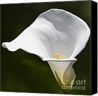 Calla Lily Canvas Prints - Open white calla lily V Canvas Print by Heiko Koehrer-Wagner