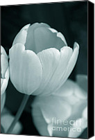 Teal Flowers Canvas Prints - Opening Tulip Flower Teal Monochrome Canvas Print by Jennie Marie Schell