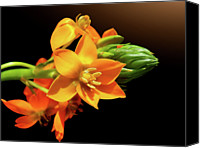 Orange Flower Photo Canvas Prints - Orange Chincherinchee Canvas Print by Gitpix