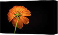 Orange Flower Photo Canvas Prints - Orange Flower On Black Background Canvas Print by photo by Jason Weddington