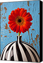 Chrysanthemums  Canvas Prints - Orange Gerbera Mum Canvas Print by Garry Gay