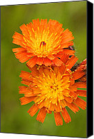 Ashland Canvas Prints - Orange Hawkweed Canvas Print by Amanda Kiplinger