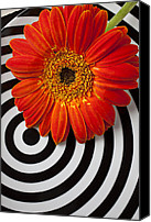 Chrysanthemums  Canvas Prints - Orange Mum With Circles Canvas Print by Garry Gay