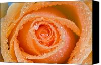 Delicate Bloom Canvas Prints - Orange Rose With Dew Canvas Print by Craig Tuttle