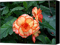 Begonia Canvas Prints - Orange spectacular Canvas Print by Claude McCoy