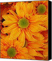 Botanicals Canvas Prints - Orange Spring Daisies Canvas Print by Amy Vangsgard