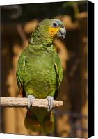 Parrot Canvas Prints - Orange-winged Amazon Parrot Canvas Print by Adam Romanowicz