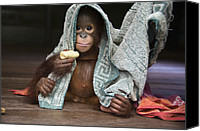 Orangutan Photo Canvas Prints - Orangutan 2yr Old Infant Holding Banana Canvas Print by Suzi Eszterhas