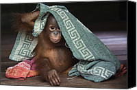 Orangutan Photo Canvas Prints - Orangutan 2yr Old Infant Playing Canvas Print by Suzi Eszterhas