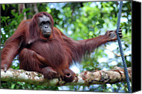 Orangutan Photo Canvas Prints - Orangutan Borneo Canvas Print by Thepurpledoor