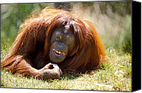 Apes Canvas Prints - Orangutan In The Grass Canvas Print by Garry Gay