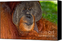 Orangutan Photo Canvas Prints - Orangutan male Canvas Print by Louise Heusinkveld