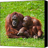 Pongo Pygmaeus Canvas Prints - Orangutan mother and child Canvas Print by Gabriela Insuratelu