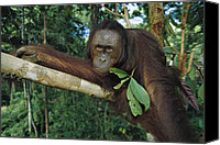 Pongo Pygmaeus Canvas Prints - Orangutan Pongo Pygmaeus Adult Sitting Canvas Print by Cyril Ruoso