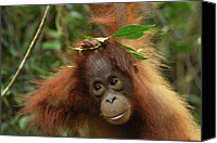 Pongo Pygmaeus Canvas Prints - Orangutan Pongo Pygmaeus Baby, Camp Canvas Print by Thomas Marent