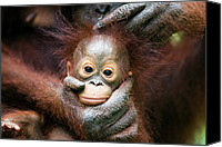 Pongo Pygmaeus Canvas Prints - Orangutan Pongo Pygmaeus Baby Held Canvas Print by Stephen Belcher