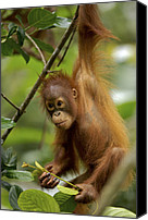 Pongo Pygmaeus Canvas Prints - Orangutan Pongo Pygmaeus Baby Swinging Canvas Print by Christophe Courteau
