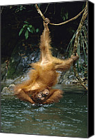 Pongo Pygmaeus Canvas Prints - Orangutan Pongo Pygmaeus Bathing Canvas Print by Konrad Wothe