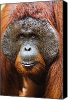 Pongo Pygmaeus Canvas Prints - Orangutan Pongo Pygmaeus Dominant Male Canvas Print by Theo Allofs