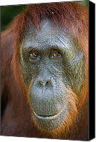Pongo Pygmaeus Canvas Prints - Orangutan Pongo Pygmaeus Female Canvas Print by Theo Allofs