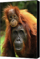 Pongo Pygmaeus Canvas Prints - Orangutan Pongo Pygmaeus Female Canvas Print by Thomas Marent