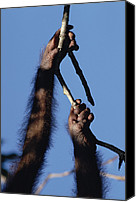Pongo Pygmaeus Canvas Prints - Orangutan Pongo Pygmaeus Hand And Foot Canvas Print by Konrad Wothe