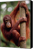 Pongo Pygmaeus Canvas Prints - Orangutan Pongo Pygmaeus Hanging Canvas Print by Gerry Ellis