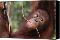 Pongo Pygmaeus Canvas Prints - Orangutan Pongo Pygmaeus Juvenile Canvas Print by Gerry Ellis