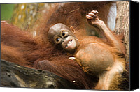Anthropomorphism Canvas Prints - Orangutan Pongo Pygmaeus.  Juvenile Canvas Print by Tim Laman