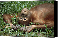 Pongo Pygmaeus Canvas Prints - Orangutan Pongo Pygmaeus Laying Canvas Print by Konrad Wothe