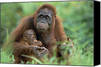Pongo Pygmaeus Canvas Prints - Orangutan Pongo Pygmaeus Mother Canvas Print by Konrad Wothe