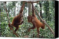 Pongo Pygmaeus Canvas Prints - Orangutan Pongo Pygmaeus Pair Playing Canvas Print by Gerry Ellis