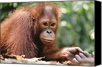 Pongo Pygmaeus Canvas Prints - Orangutan Pongo Pygmaeus Portrait Canvas Print by Gerry Ellis