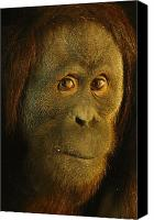 Pongo Pygmaeus Canvas Prints - Orangutan Pongo Pygmaeus Canvas Print by Richard Nowitz