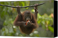 Pongo Pygmaeus Canvas Prints - Orangutan Pongo Pygmaeus Young Eating Canvas Print by Tim Fitzharris