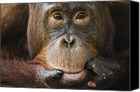 Pongo Pygmaeus Canvas Prints - Orangutan Pongo Pygmaeus Young Male Canvas Print by Theo Allofs