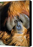 Orangutan Photo Canvas Prints - Orangutan Canvas Print by Randall Ingalls