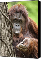 Orangutan Photo Canvas Prints - Orangutan Canvas Print by Wade Aiken