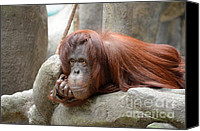Orangutan Photo Canvas Prints - Orangutans Day Canvas Print by Julie Palencia