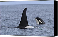 Whale Canvas Prints - Orca And Calf Surfacing Southeast Alaska Canvas Print by Flip Nicklin
