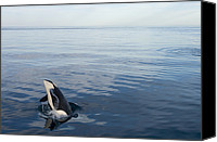 Whale Canvas Prints - Orca Breaching Southeast Alaska Canvas Print by Flip Nicklin