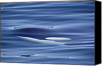 Whale Canvas Prints - Orca Just Below Water Surface British Canvas Print by Flip Nicklin