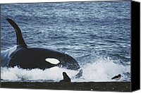 Valdes Canvas Prints - Orca Orcinus Orca Hunting South Canvas Print by Hiroya Minakuchi
