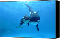 Whale Photo Canvas Prints - Orca Orcinus Orca Mother And Newborn Canvas Print by Hiroya Minakuchi