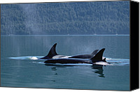 Whale Canvas Prints - Orca Orcinus Orca Pod Surfacing, Inside Canvas Print by Konrad Wothe
